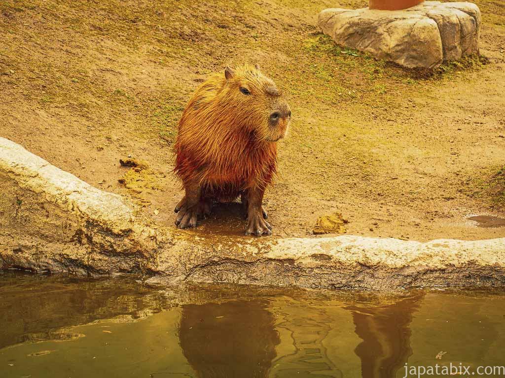 旭山動物園 カピバラ館