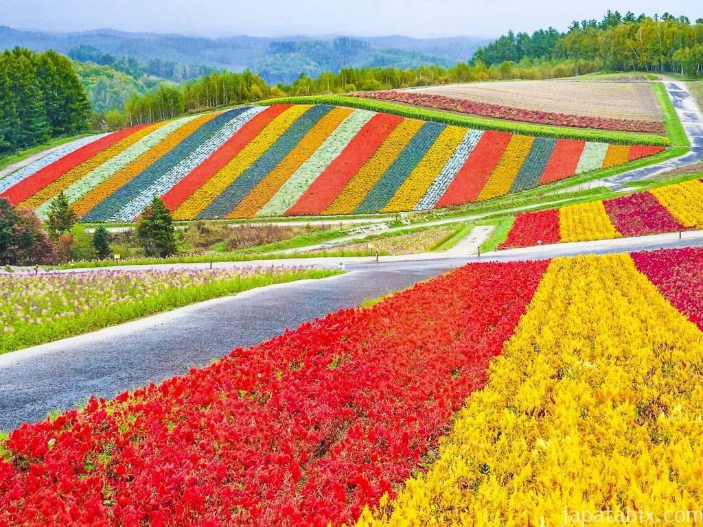 北海道 美瑛町 見ごろを迎える四季彩の丘
