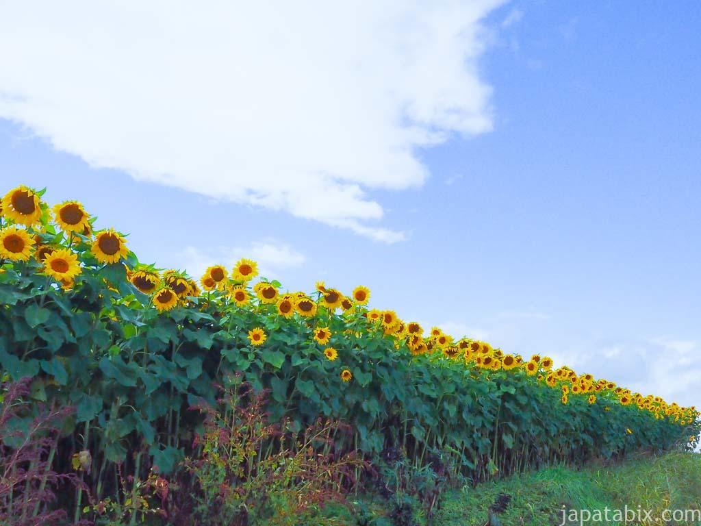 北海道 美瑛町 四季彩の丘 ひまわり