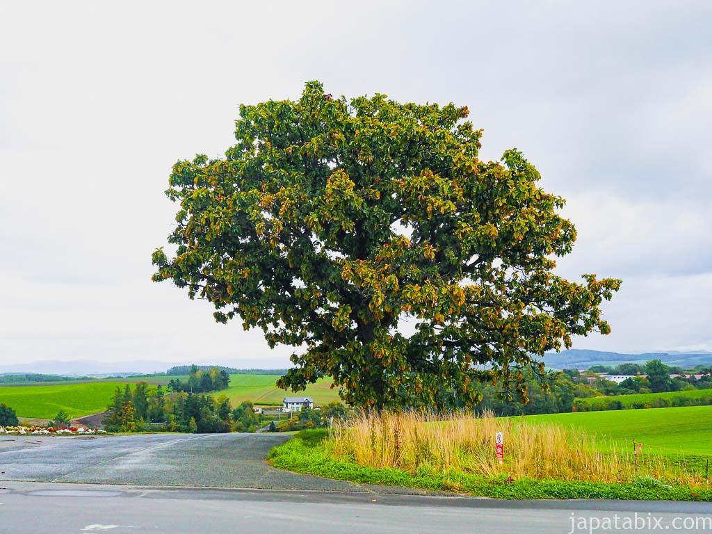 北海道 美瑛町 セブンスターの木