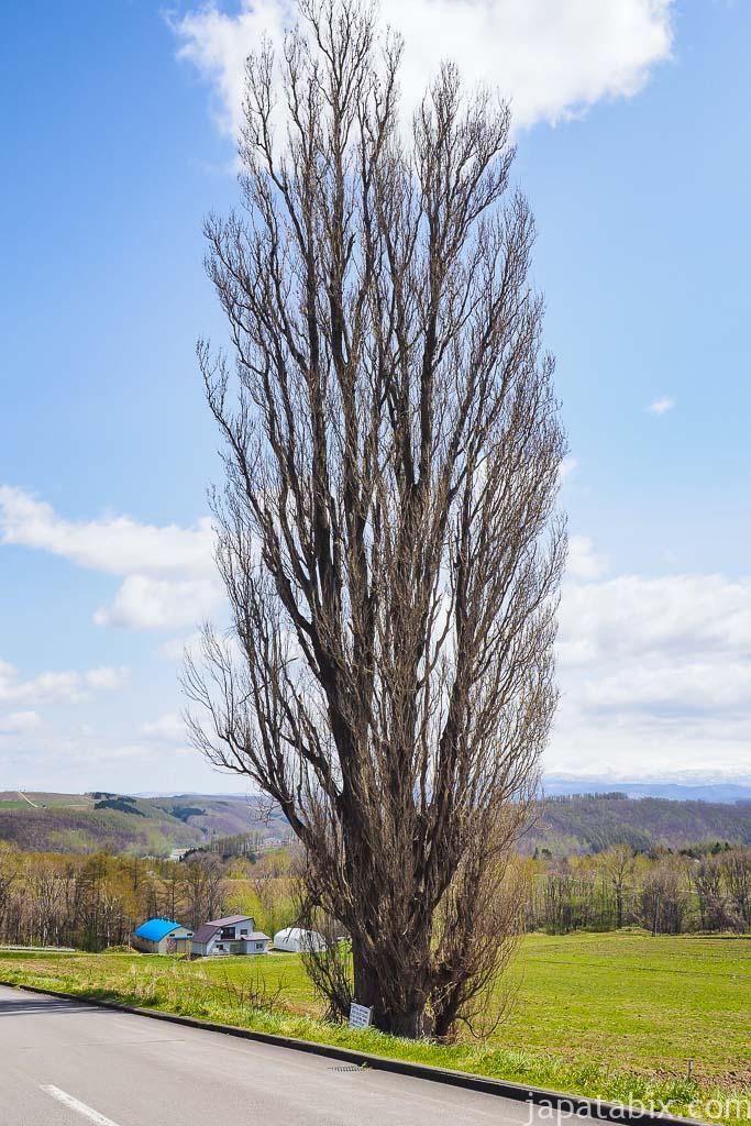 北海道 美瑛町 5月のケンとメリーの木