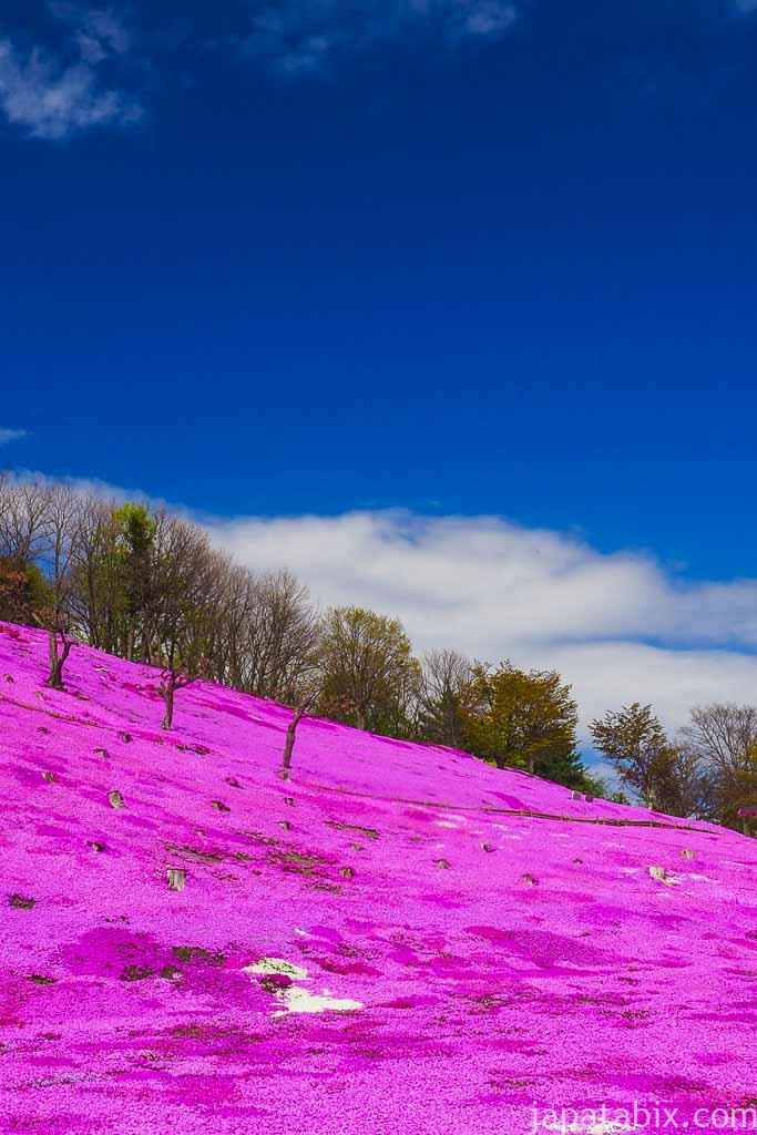 太陽の丘えんがる公園 青空とシバザクラ