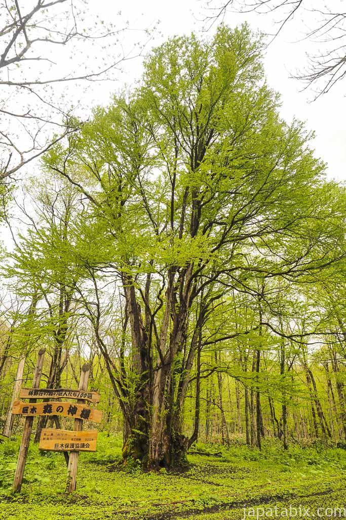 北海道 美瑛町 巨木 森の神様