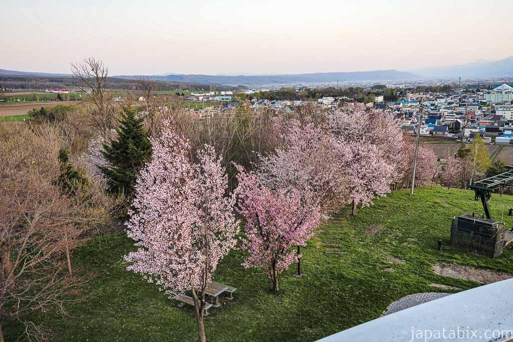 北海道 上富良野 日の出ラベンダー園 桜