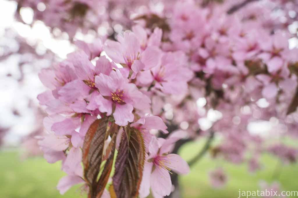 北海道 富良野市 鳥沼公園周辺の桜