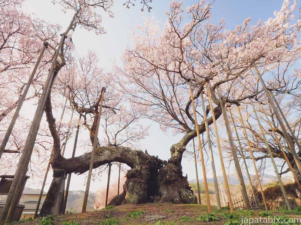 2020年の神代桜