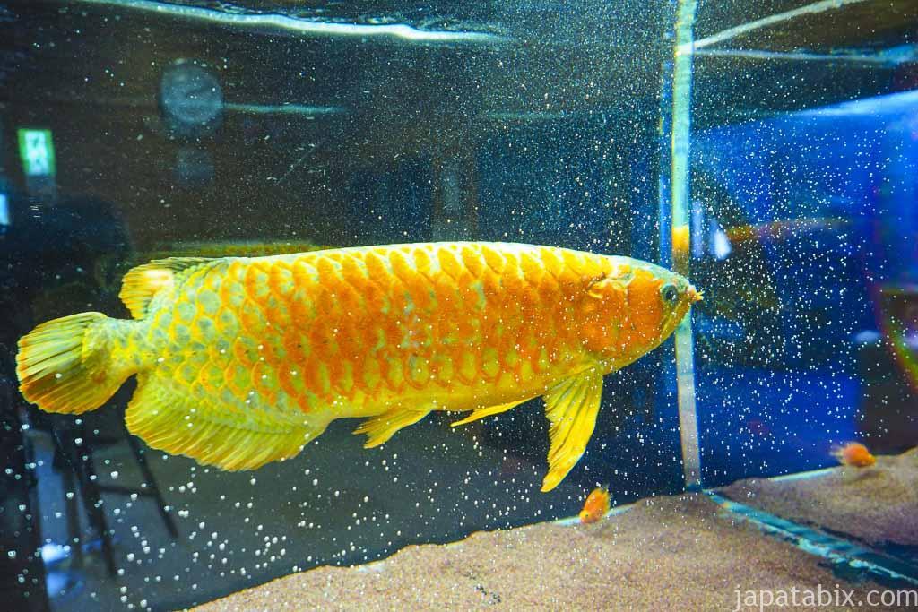 北の大地の水族館 世界一高い観賞魚 アジアアロワナ
