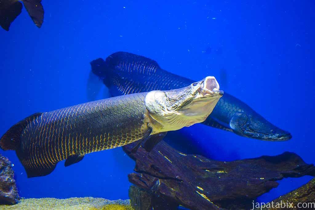 おんねゆ温泉水で泳ぐ淡水魚 ピラルク