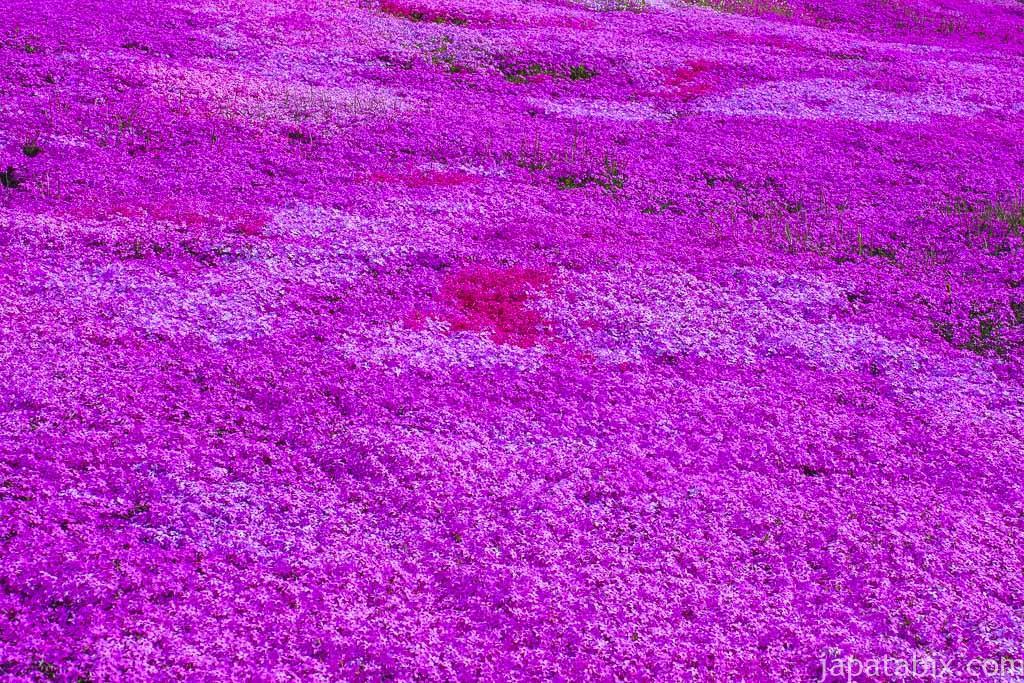 北海道滝上町 芝ざくら滝上公園 満開の芝ざくらのアップ