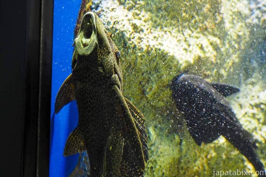 北の大地の水族館 セルフィンプレコ