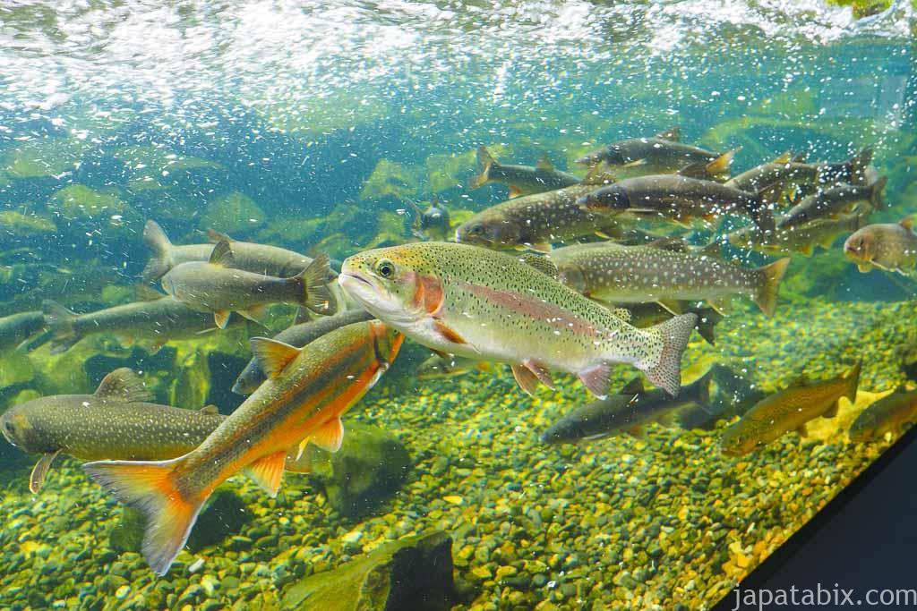 北の大地の水族館 ウグイ