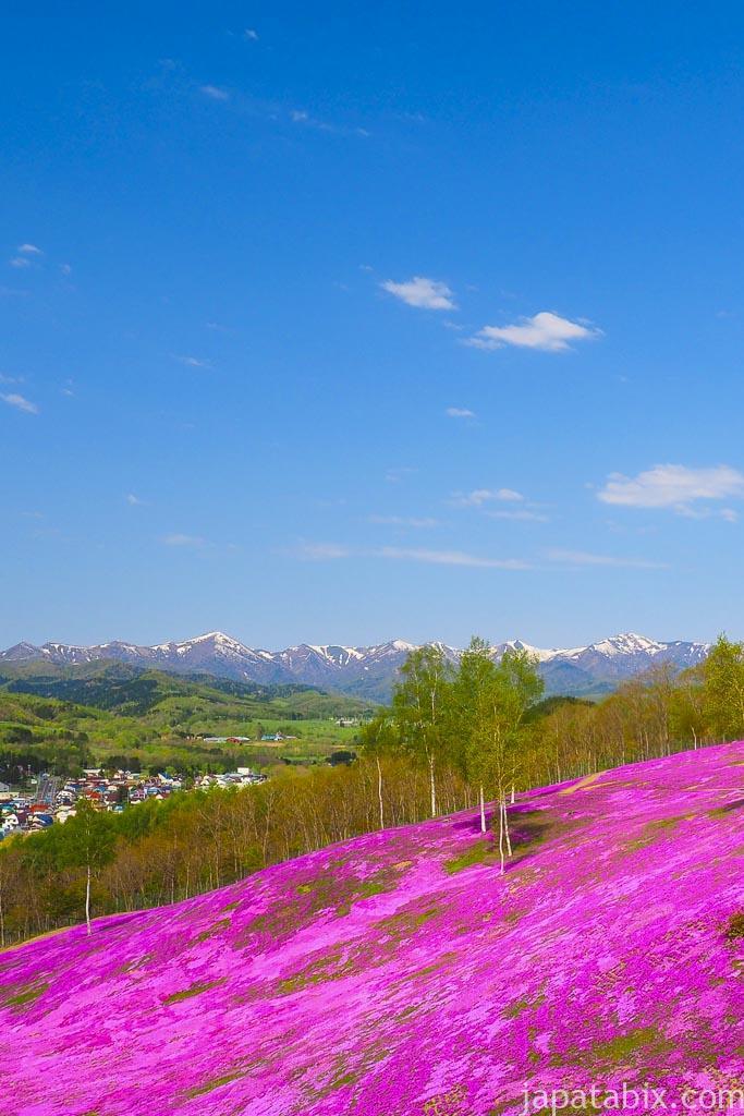 残雪の大雪山とシバザクラ