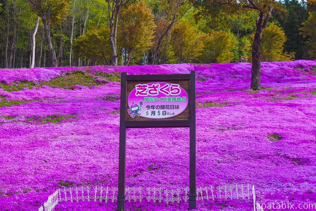 芝ざくら滝上公園 開花時期