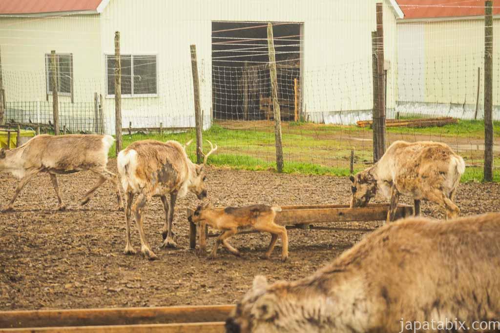 北海道 幌延町 トナカイ観光牧場 トナカイの食事の様子