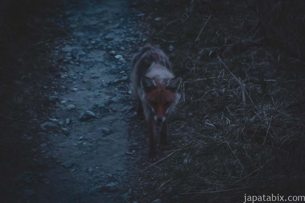 日没後の遊歩道にあらわれたキタキツネ