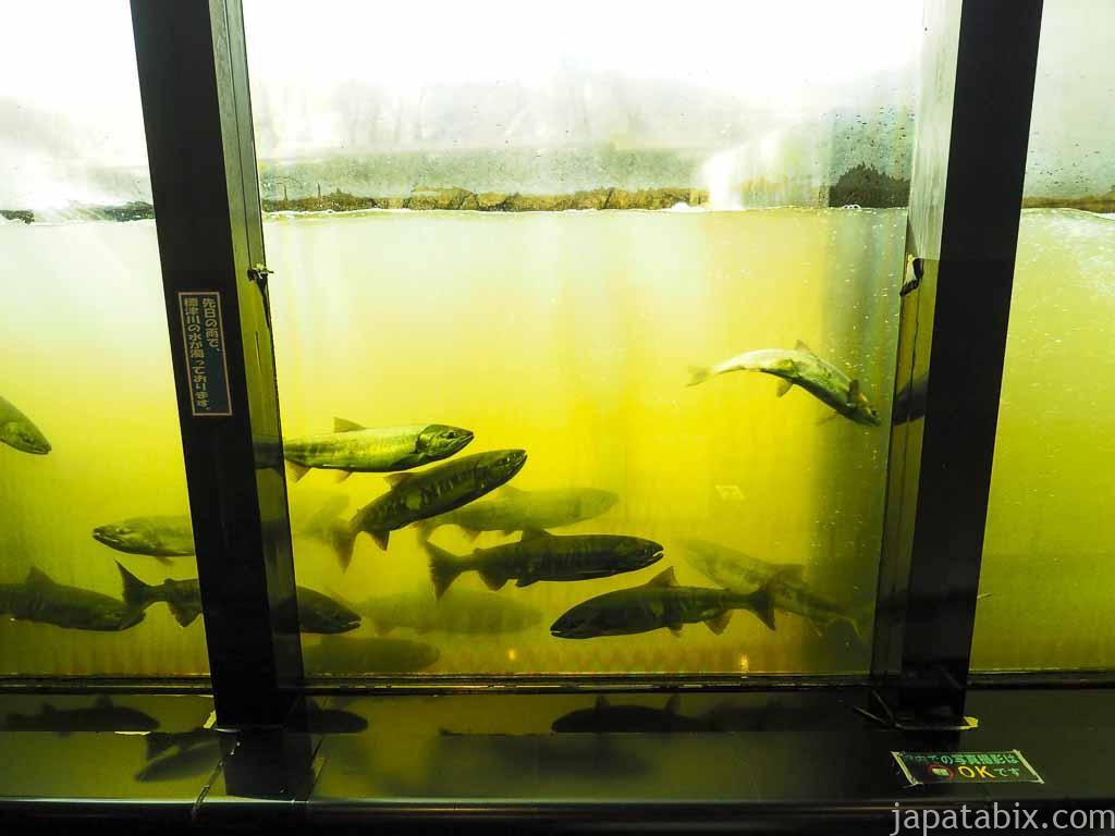 標津町 標津サーモン科学館 魚道水槽で見るサケの遡上