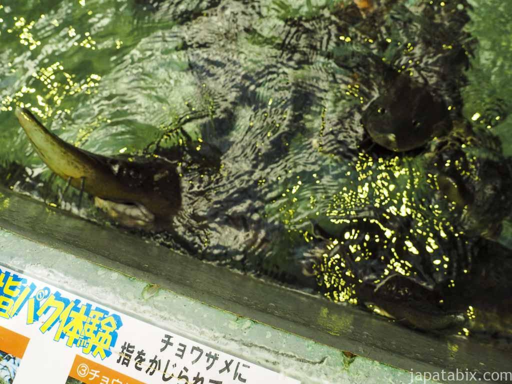標津サーモンパーク チョウザメ