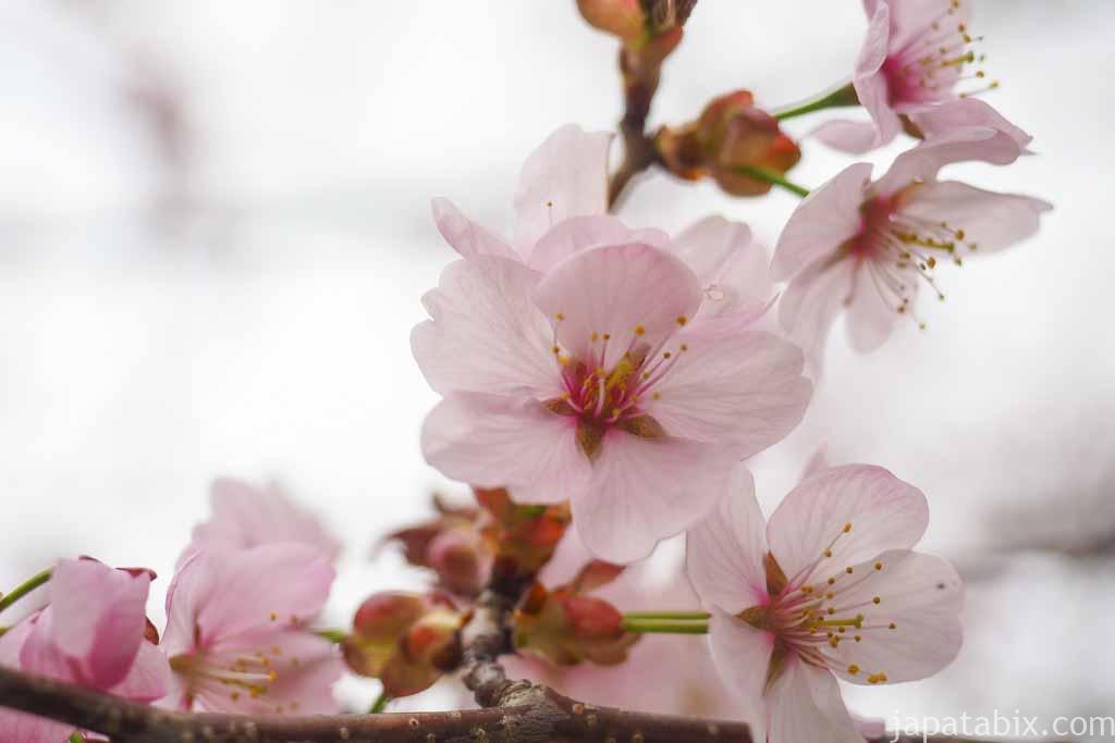 別保公園の桜