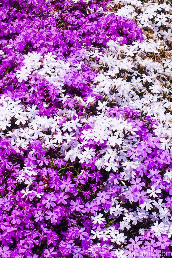 ひがしもこと芝桜公園 見ごろのシバザクラ
