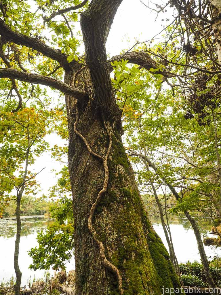 知床五湖を歩く