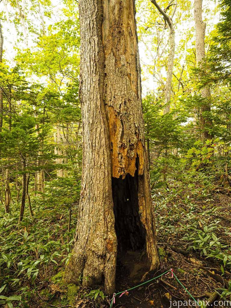 知床五湖 ウロの空いた木