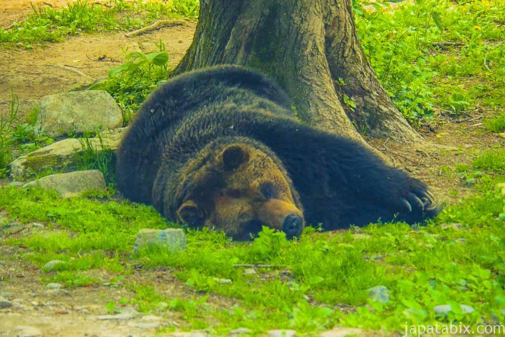 寝ているヒグマ