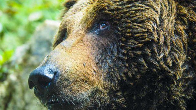 北海道新得町 ベアマウンテンのヒグマ