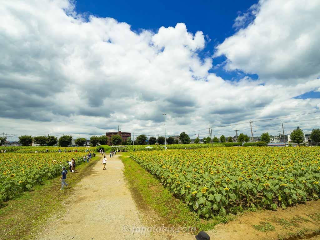 ひまわりガーデン武蔵村山のひまわり畑を見晴らし台から見る