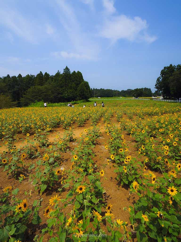 成田ゆめ牧場 ひまわり散歩のサンフィニティ
