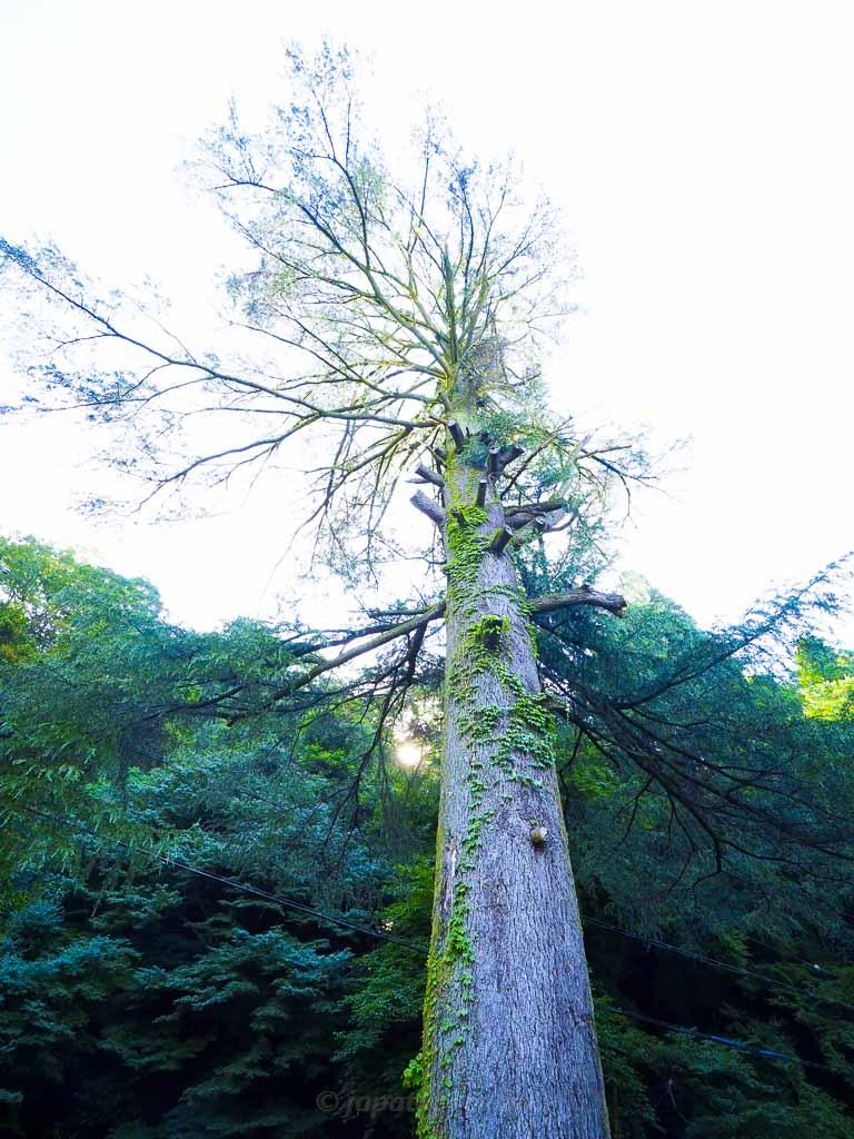 道沿いの大木