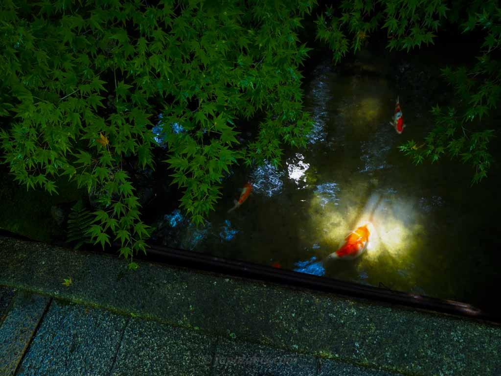 瑠璃光院 池の鯉
