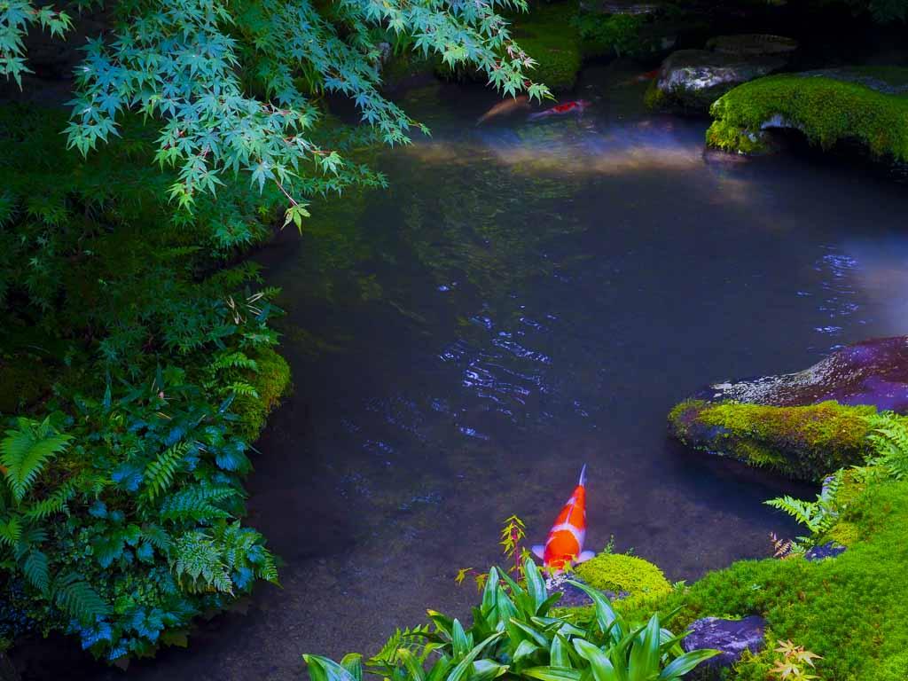 臥竜の庭の鯉