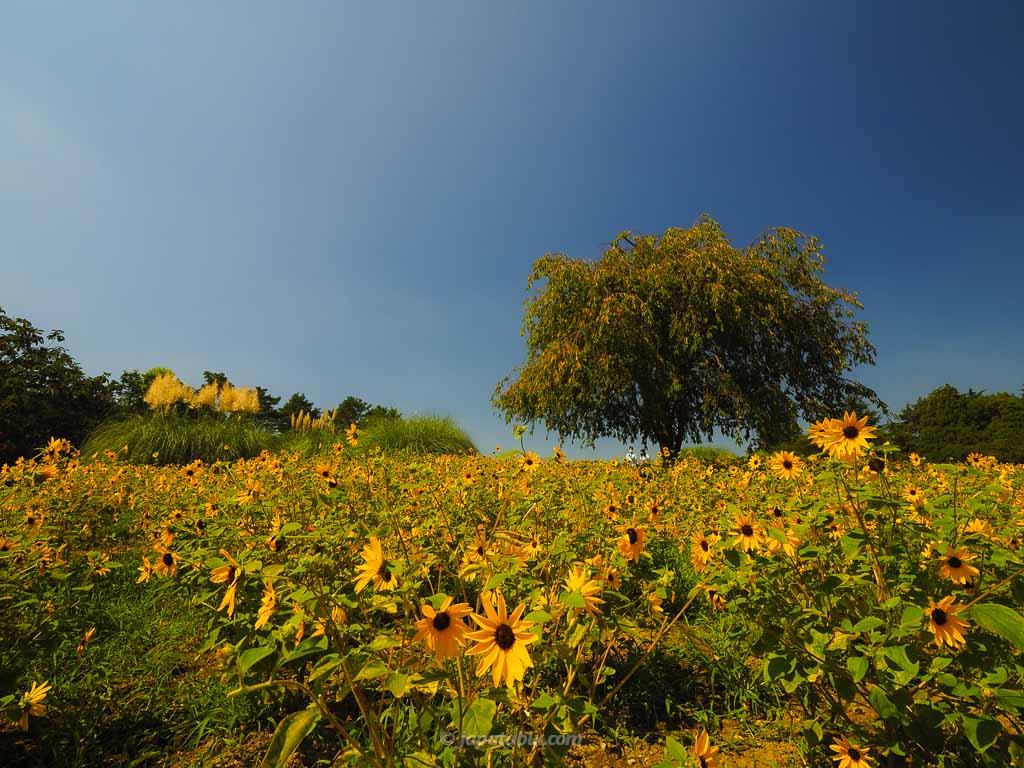 ハーブの丘のひまわり(サンフィニティ)