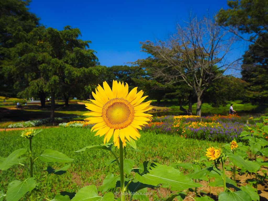 国営昭和記念公園のひまわり