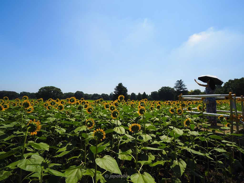 原っぱ西花畑のひまわり畑 展望台