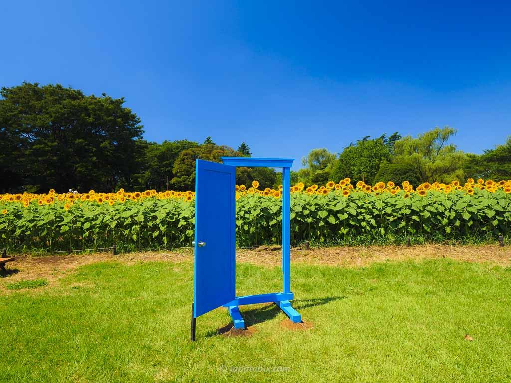 原っぱ西花畑のひまわり畑 の青い扉