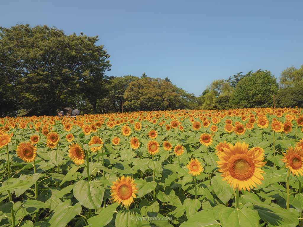 国営昭和記念公園 原っぱ西花畑のひまわり畑