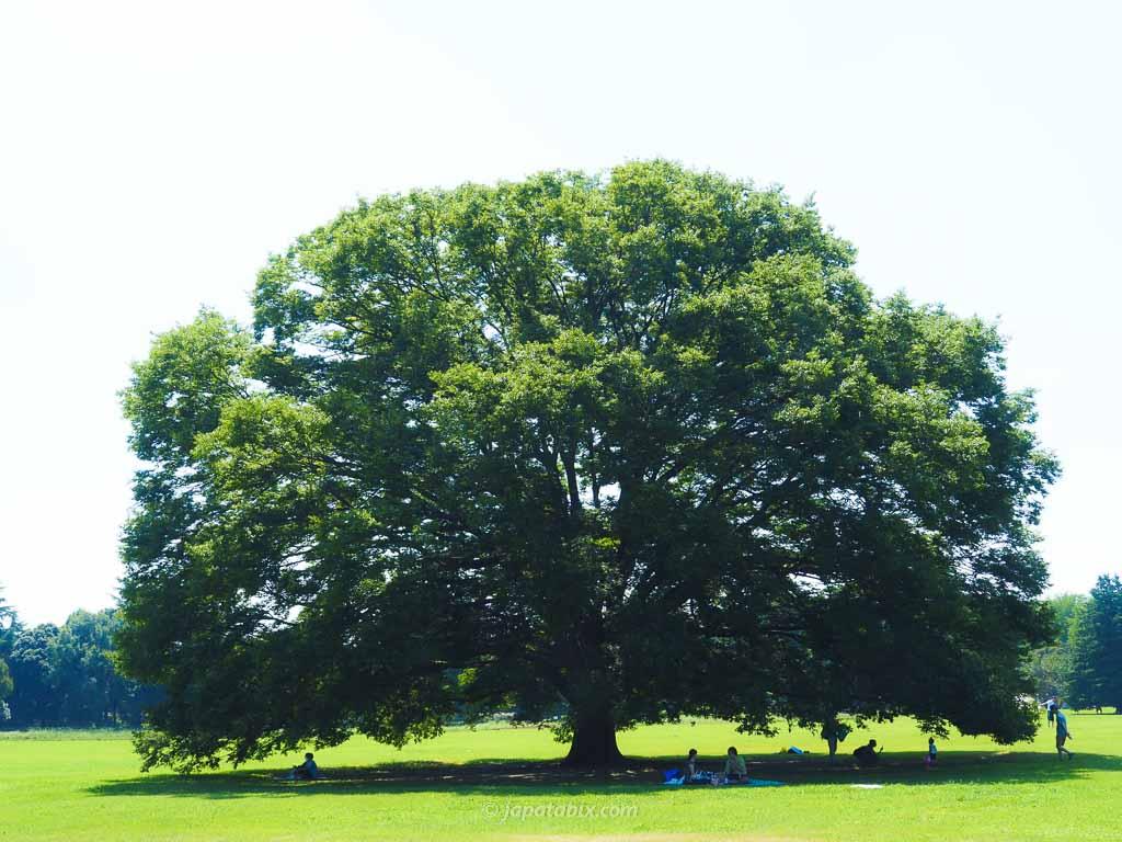 国営昭和記念公園の原っぱの大木