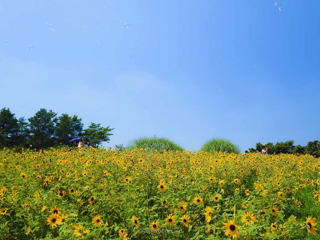 国営昭和記念公園 ひまわりとシャボン玉
