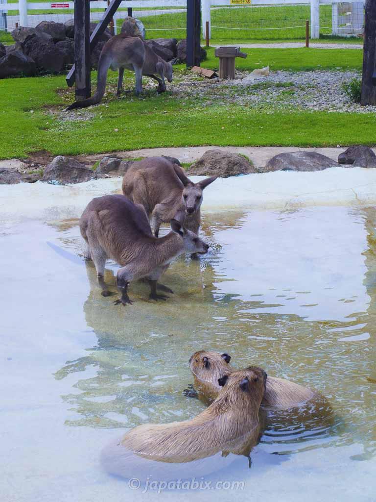 ソレイユの丘 水浴びするカンガルーとカピバラ