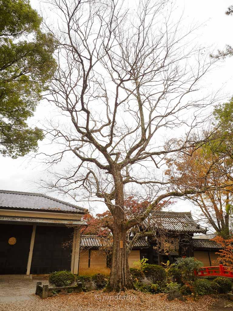 京都 今宮神社 トウカエデ