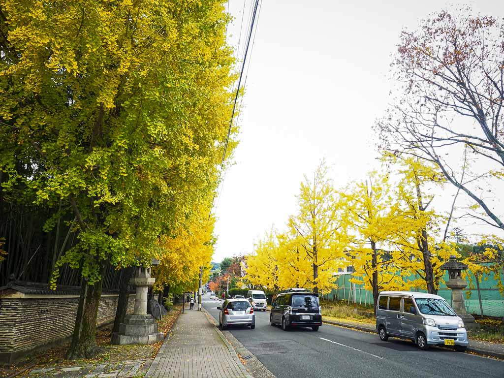京都 今宮神社 参道のイチョウ並木