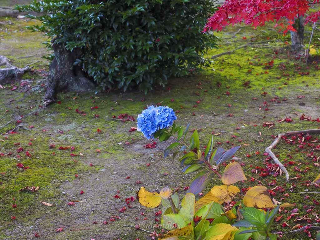 京都 勧修寺 紫陽花?