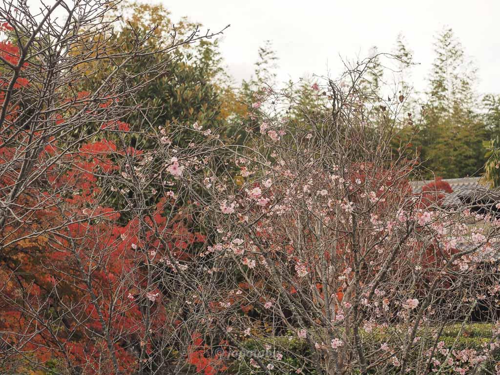 京都 勧修寺 十月桜