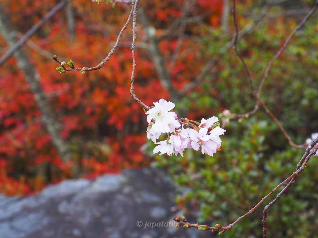 京都 名勝 勧修寺庭園の紅葉と十月桜