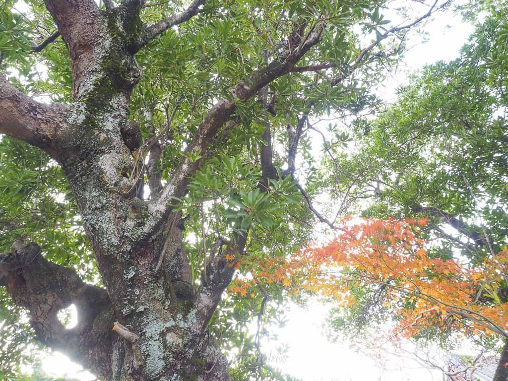 京都 名勝 勧修寺庭園 山桃の老木