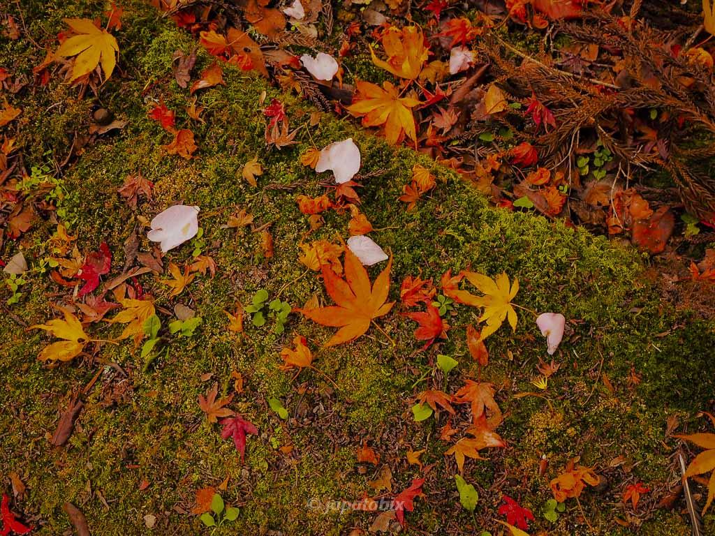 京都 金蔵寺 本堂の落ち葉