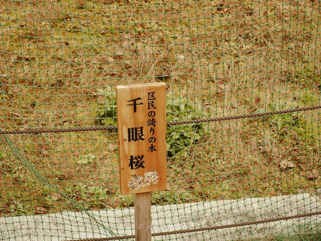 京都 大原野神社 千眼桜