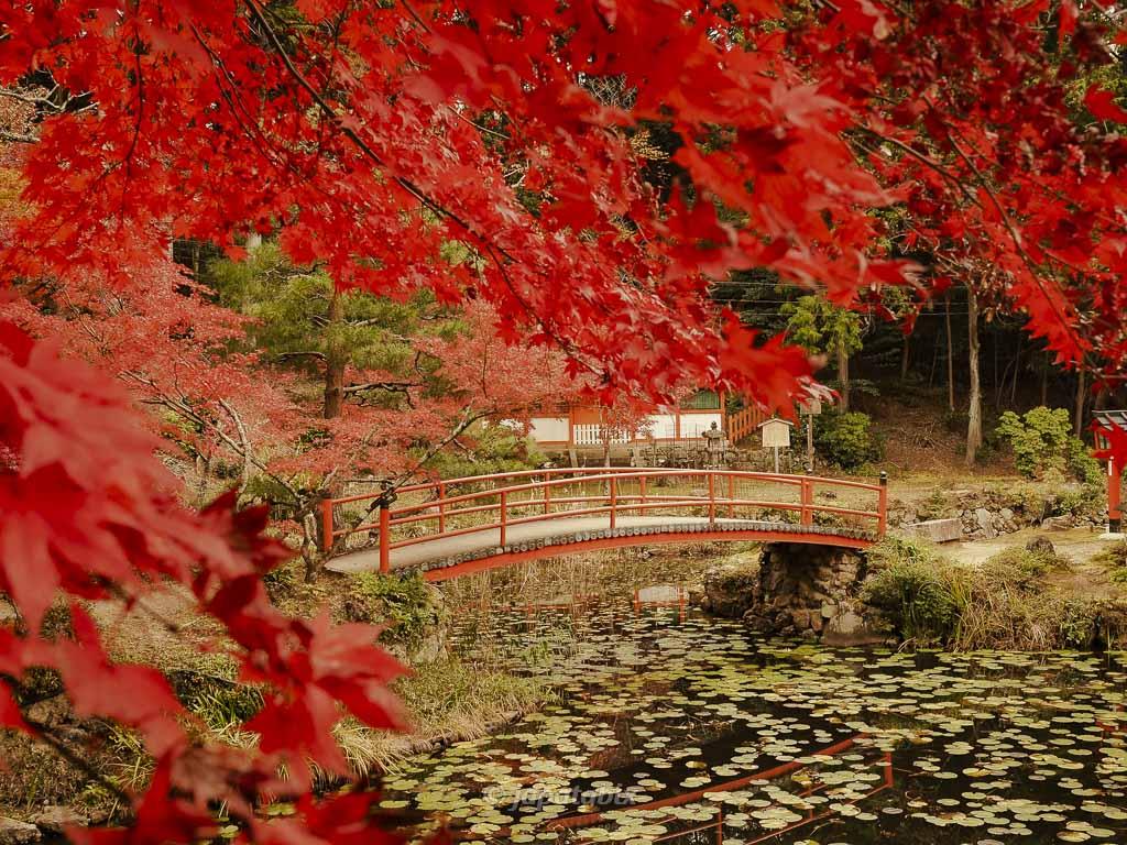 京都 大原野神社 鯉沢の池の紅葉