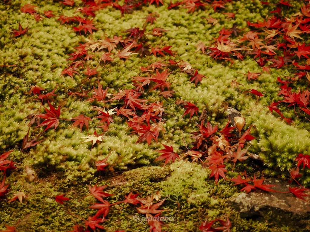 京都 蓮華寺 苔に落ちる紅葉